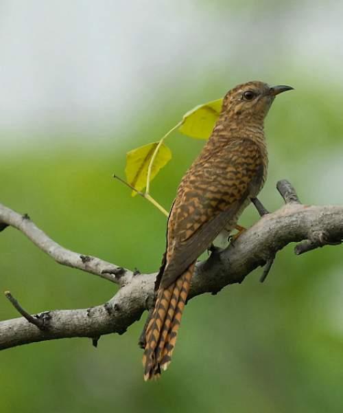Indian birds - Picture of Plaintive cuckoo - Cacomantis merulinus