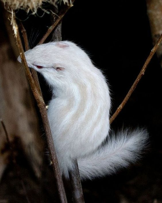 Chipmunk | A-Z List of 125 Rare Albino Animals [Pics]