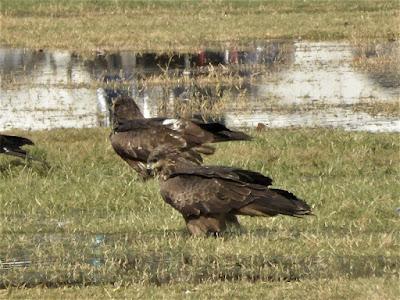 El polvoriento cielo de la India está lleno de halcones