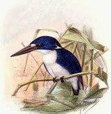 Martín pescador menudo Ceyx pusillus little kingfisher