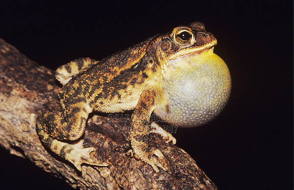 Bufo-valliceps