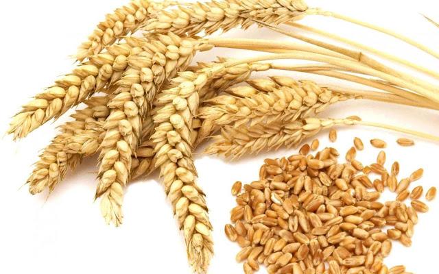 Mencegah asma Dalam The American Lung Association diungkapkan bahwa sekitar 20 juta penduduk Amerika mengidap asma. Namun dengan pernyataan ini, studi lain juga telah menyatakan bahwa asma yang diderita oleh anak-anak dapa dicegah dan diobat secara bertahap menggunakan biji-bijian dan ikan.    Termasuk untuk biji gandum, dimana manfaat gandum sangatlah besar untuk mencegah dan mengobati asma pada anak yaitu mencapai angka 50%. Bahkan dengan mengonsumsi gandum, ikan dan biji-bijian lain sebagai makanan diet terbukti mampu menurunkan resiko kemungkinan terserang penyakit asma sebanyak 66%.    6. Kontrol obesitas Bagi seorang wanita berat badan berlebih mungkin menjadi satu masalah yang cukup serius. Sebab jika dibandingkan dengan pria, wanita memiliki kemampuan alami yang lebih menonjol untuk mengendalikan berat badan, ya meskipun sebenarnya kemampuan ini akan berbeda satu sama lain pada setiap orang. Namun dalam sebuah penelitian yang dinyatakan dalam The American Journal Nutrition menunjukkan jika gandum adalah makanan yang paling baik untuk penderita diabetes. Mereka yang menderita obesitas akan mampu menurunkan berat badan secara lebih cepat dan baik ketika mengonsumsi gandum dalam jangka waktu lama.    7. Melawan kanker payudara Masih untuk wanita, kali ini manfaat gandum akan sangat dibutuhkan wanita demi menjaga kesehatan tubuhnya dari serangan penyakit kanker payudara. Penurunan dan perlawanan penyakit kanker payudara ini sangat erat kaitannya dengan diet yang dilakukan oleh wanita.    Yaitu ketika seorang wanita melakukan diet dengan menu gandum yang memiliki kandungan serta begitu tinggi, maka juga dapat menurunkan resiko berkembangnya sel kanker payudara.    Bahkan sebuah studi telah menyatakan sekitar 30 gram gandum yang dikonsumsi setiap hari sudah cukup untuk menurunkan resiko terserang kanker payudara.    Bahkan penurunan resiko terserang penyakit kanker payudara ini dapat meningkat menjadi 41% ketika seorang wanita pra-menopause lebih banyak mengonsums