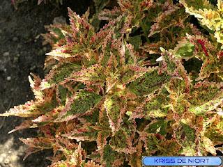 Coléus - Solenostemon scutellarioides - Plectranthus scutellarioides