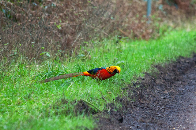 Golden Pheasant - Wolferton Triangle