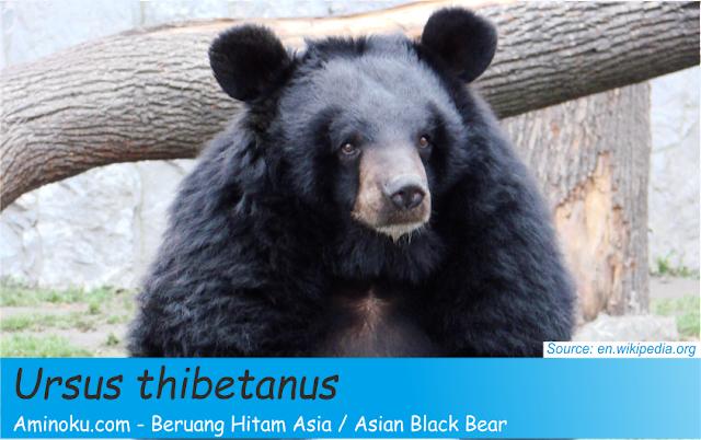 Fakta unik beruang hitam asia