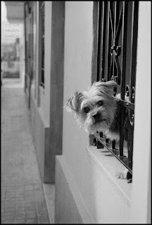 perro,asomado,valencia,2018,calendario,animales,ventana,foto