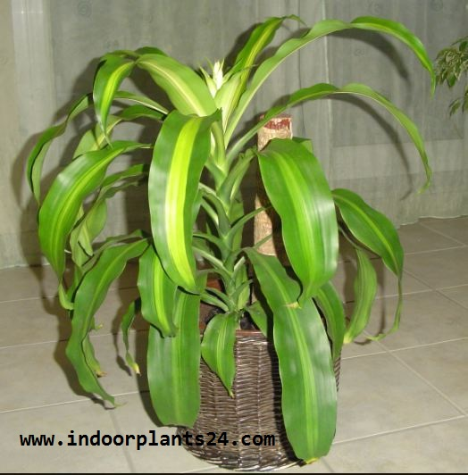 Dracaena Fragrans Massangeana Agavaceae photo potted