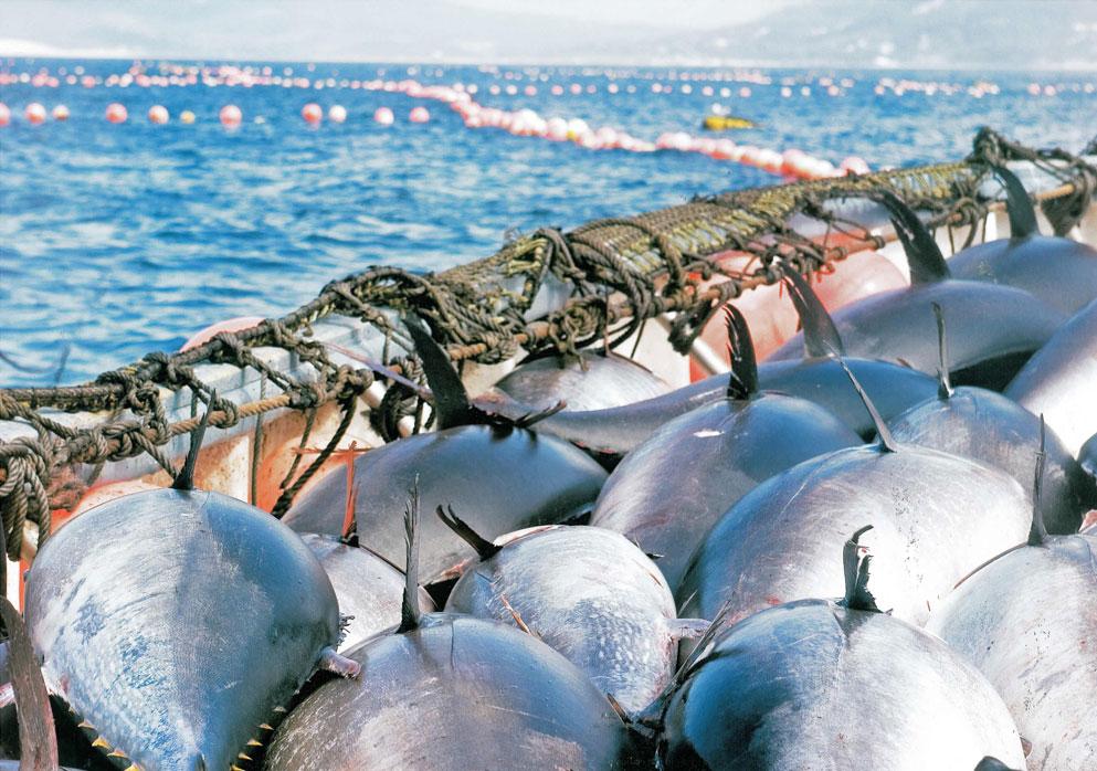 pesca atun almadraba cadiz