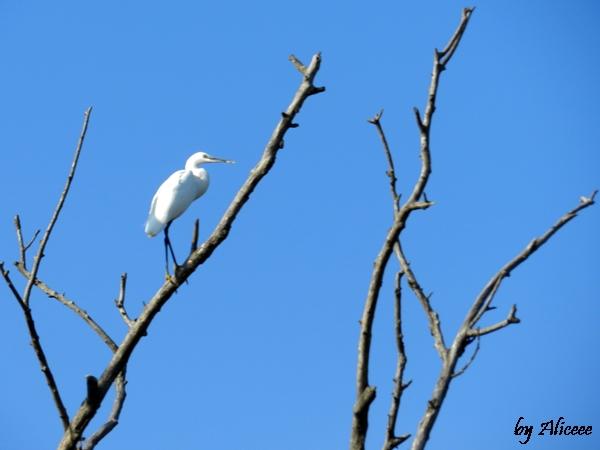 Delta-Dunarii-egrete-in-varful-arborilor