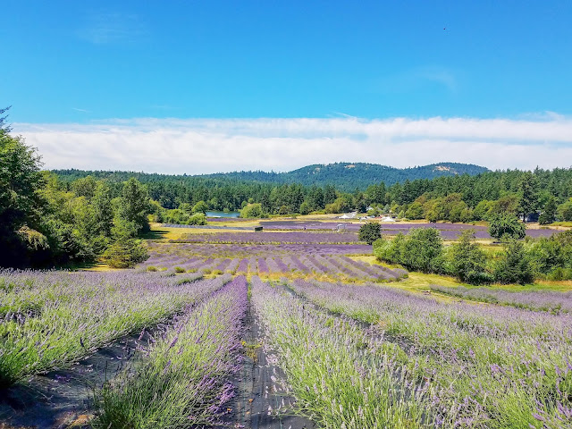 Pelindaba Lavender Farm Open for Visiting on San Juan Island