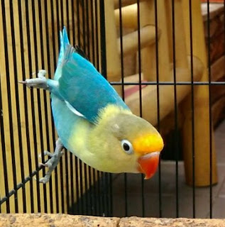 Tips Dan Cara Akurat Mencetak Lovebird Parblue Dengan Mudah