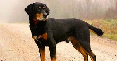 El perro Smalandsstovare características