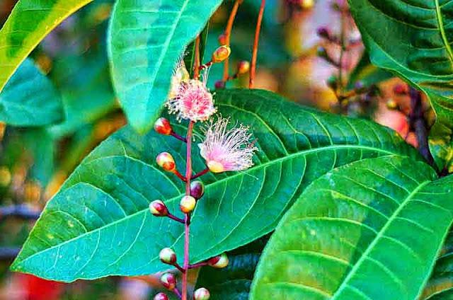 Powderpuff Mangrove Plant, leaves, flowers