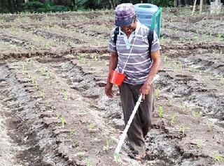 cara menanam jagung manis bonanza f1,cara menanam jagung manis yang baik dan benar,cara menanam jagung manis di polybag,cara menanam jagung manis bonanza,cara menanam jagung manis talenta,