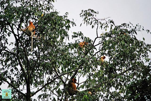 Monos narigudos en Río Kinabatangan, Borneo (Malasia)