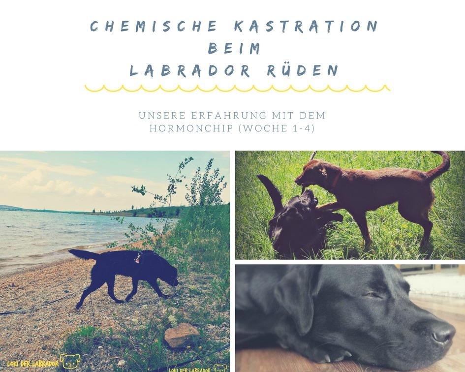 Fotocollage Schwarzer Labrador Rüde mit Hormonchip