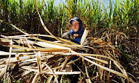A worker cuts sugar cane on a plantation northwest of Sao Paulo, Brazil. (Photograph Credit: Alexandre Meneghini/AP) Click to Enlarge.