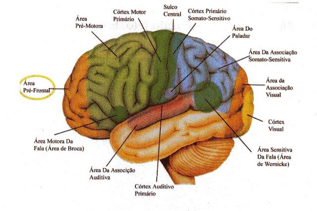 Resultado de imagem para córtex motor primário