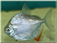 Silver Dollar Fish Pictures