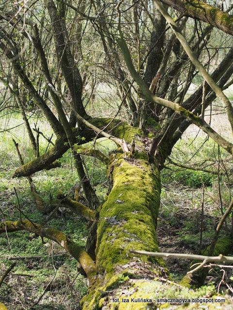 drzewa, drzewo, las legowy, legi, nad rzeka, warszawa, spacer, wycieczka, piekny dzien, na grzyby, grzybobranie