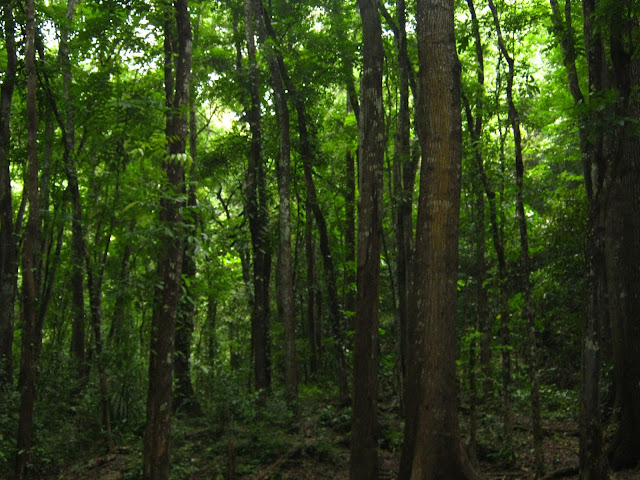 man-made forest bohol