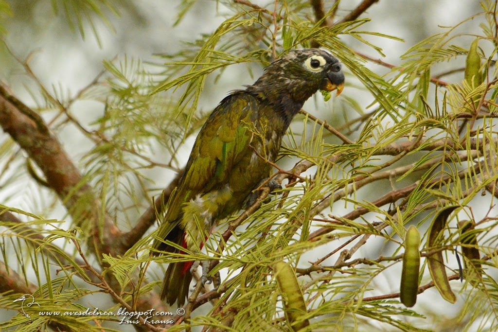 Loro maitaca (Scaly-headed parrot) Pionus maximiliani
