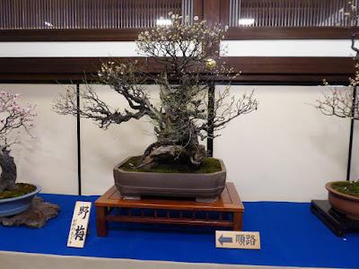 大阪天満宮・大盆梅展(盆梅と盆石展) 野梅 樹齢約300年