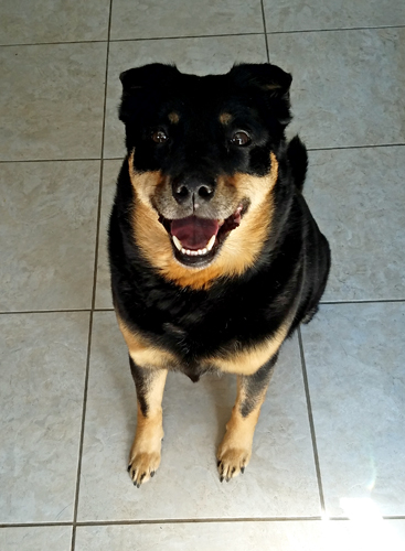 image of Zelda the Black and Tan Mutt sitting in the kitchen with a big grin