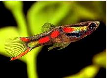 10 Ikan Hias Air Tawar Terindah Jenis Endlers Livebrearer