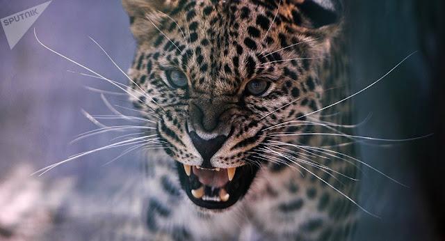 Armenia proclama el 2019 como el Año del Leopardo