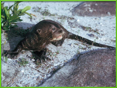 Otter [Pteronura brasiliensis] Facts