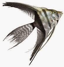 Dunia Ikan Hias - Veil Manfish