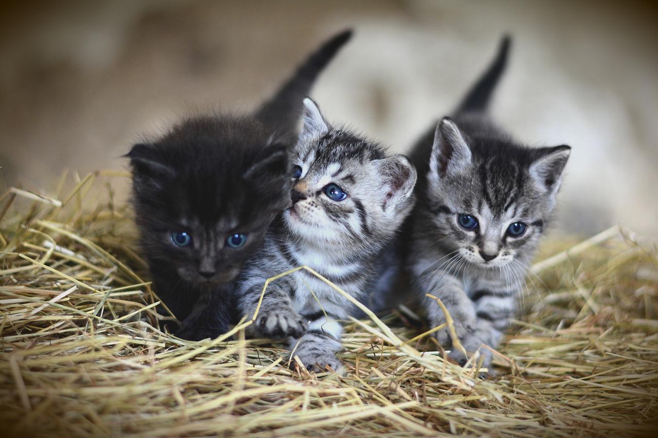 anak kucing gebu