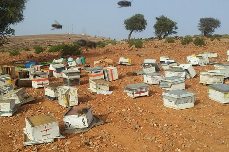 عمليات سرقة خلايا النحل تعود إلى الواجهة نواحي تارودانت