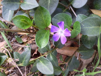 Vinca aka periwinkle (Vinca major) on Fish Canyon Trail, Angeles National Forest