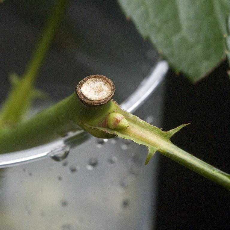 芽が動き始めたバラの水挿し