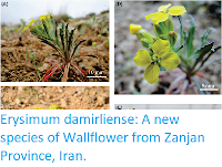 https://sciencythoughts.blogspot.com/2017/11/erysimum-damirliense-new-species-of.html