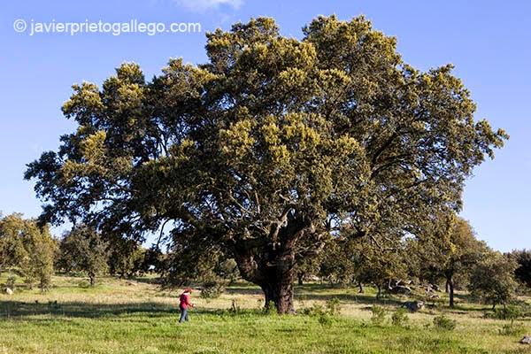 Ecina centenaria cerca de la localidad de Gema de Yeltes. Salamanca. Castilla y León. España. © Javier Prieto Gallego