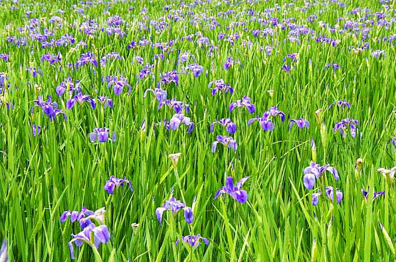 purple iris,flowers