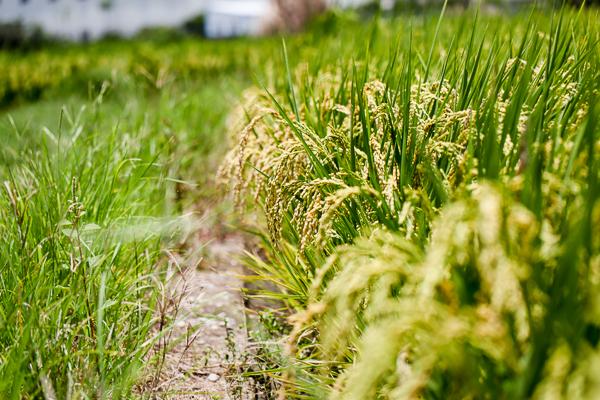 彰化芬園寶山國小後方稻田裡的紅色小屋,變成網美打卡點