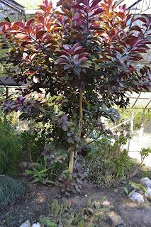 Euphorbia umbellata. Lechero Africano.
