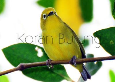 Burung Pleci dikenal juga sebagai burung peniru bunyi Cara Pemasteran Yang Efektif Untuk Burung Pleci