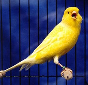 4 Cara Jitu Supaya Burung Kenari Cepat Ngerol Gacor Kicau Mania