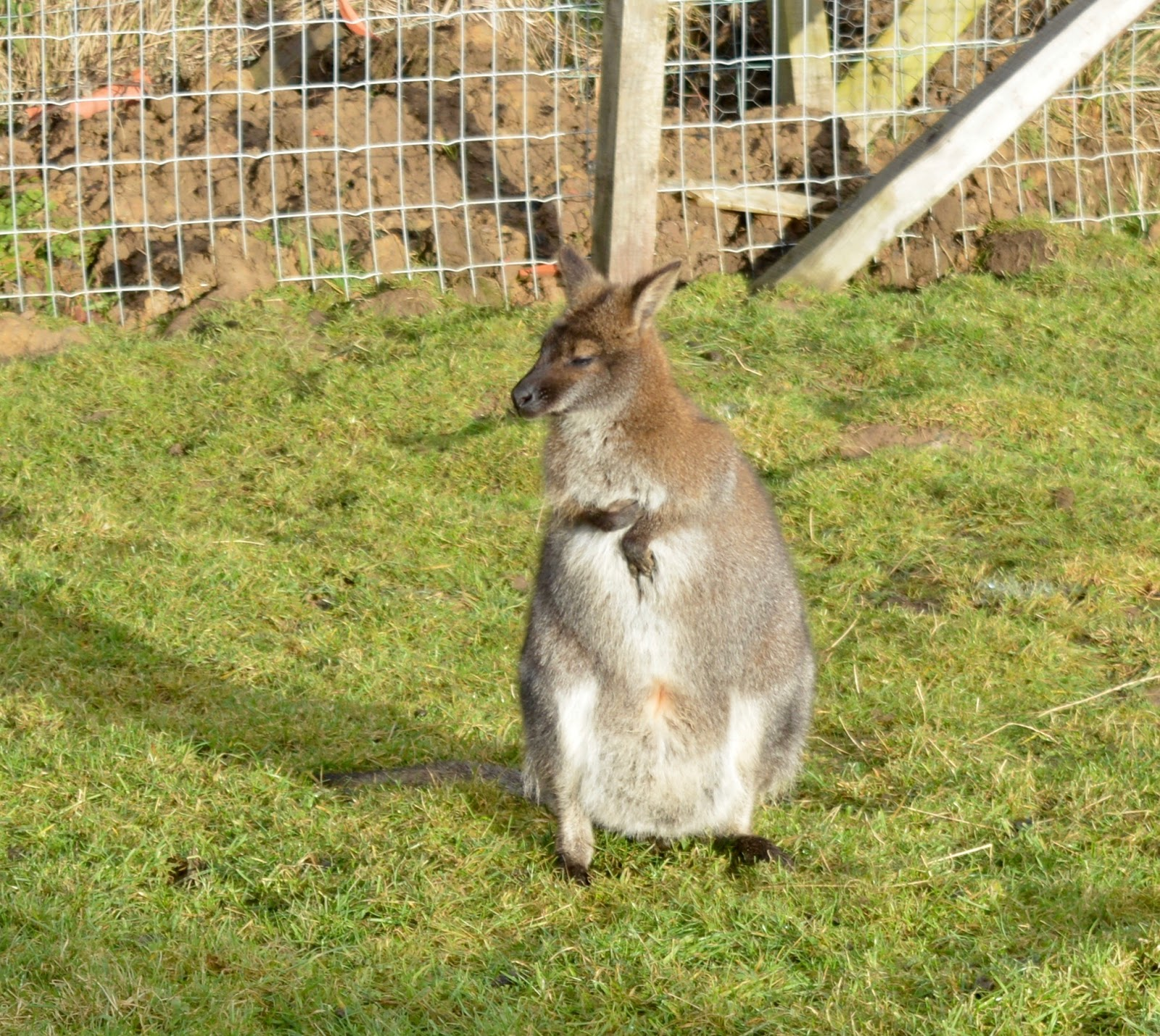 Northumberland County Zoo Reviews - wallabies