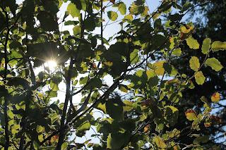 nocciolo foglie