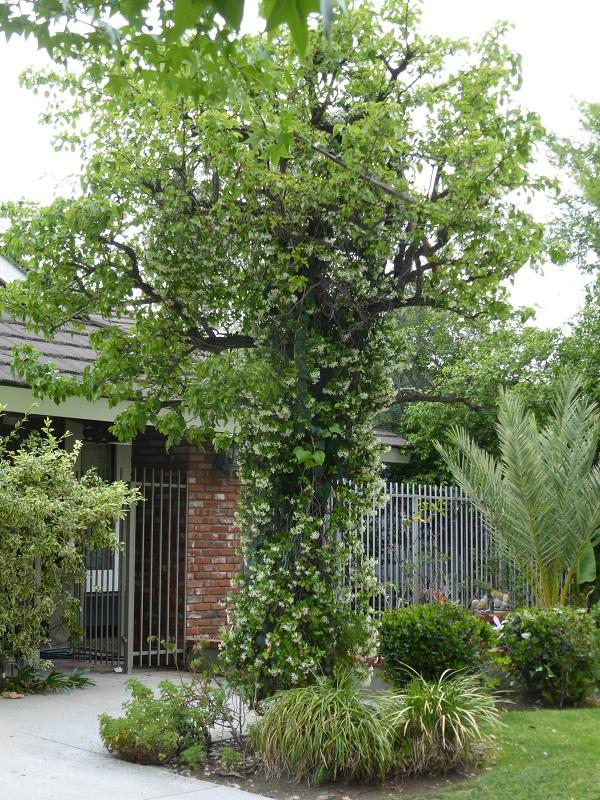 jasmine tree spire