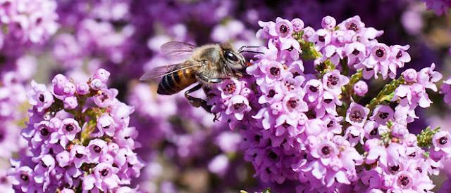 Πωλείται μέλι Ερείκης και θυμάρι στα Χανιά