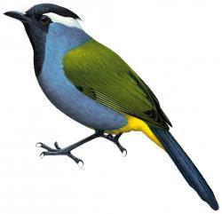 Paramythia montium