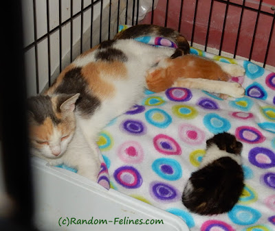 calico cat and two kittens