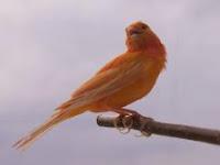 5 Tips Cara Merawat Burung Kenari Saat Mabung